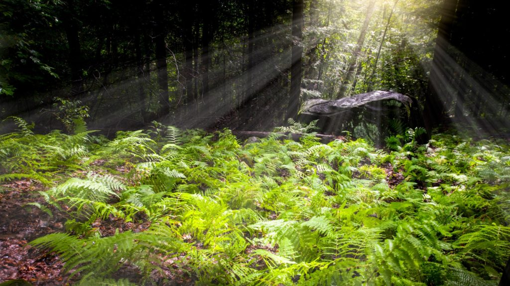 Natural fern in forest with penetrating sun rays